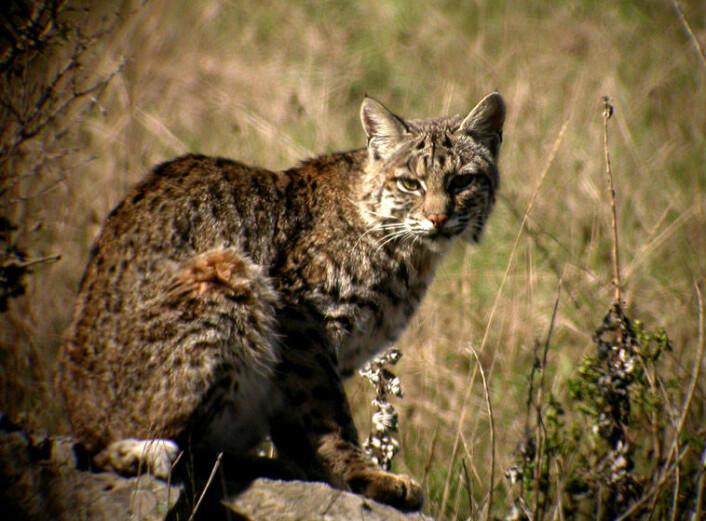 Rødgaupa får fra en til seks kattunger. Når ungene er ett år gamle, forlater de moren og jakter på egenhånd.   (Foto: Len Blumin/Wikimedia Commons)