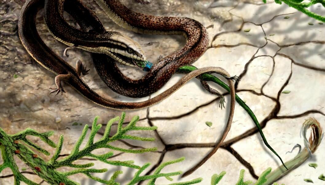 Den firbente slangen som fanger en annen liten reptil, slik en kunstner ser for seg. (Illustrasjon: James Brown/University of Portsmouth)