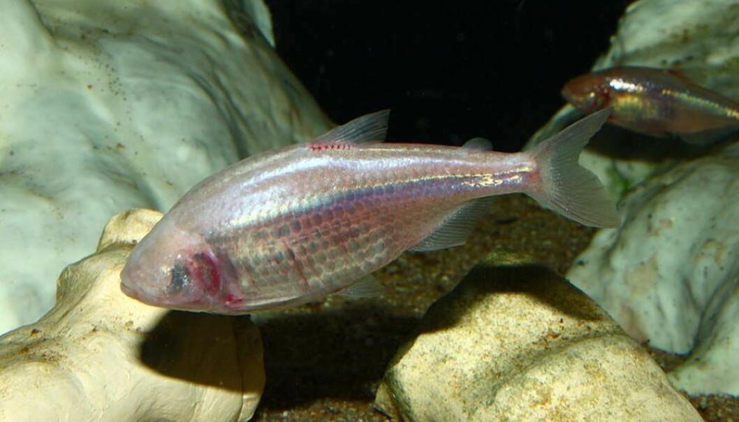 Astyanax mexicanus lever i huler i Mexico. Etter tusener av år i mørket har fiskene mistet fargen og øynene sine. Til gjengjeld er de mestere i overspising. Bildet er tatt ved Staatliches Museum für Naturkunde Karlsruhe, Germany. (Foto: H. Zell, via Wikimedia Commons)