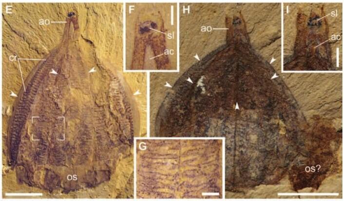 Slik ser noen av fossilene ut. Kammene med cilier er tydelige (cr) Foto: Qiang et al. 2015. Science Advances