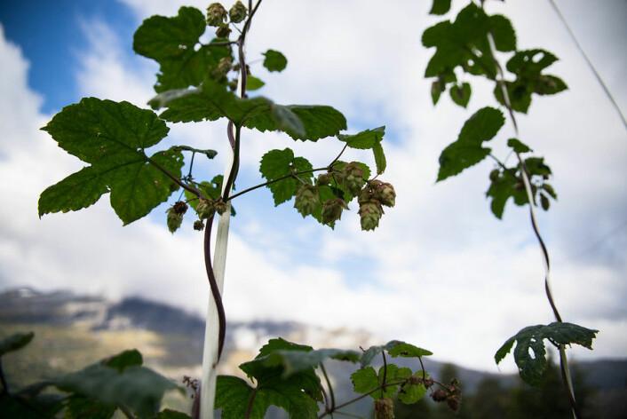 Humleplanter. Forsøk med dyrking av humle, NIBIO Ullensvang (Foto: Anette Tjomsland)