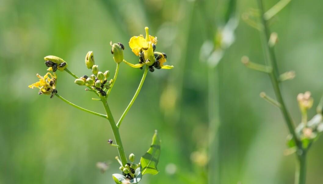 Det er store problemer med resistens mot pyretroider hos rapsglansbille i oljevekster. Overvåking av resistens har pågått siden 2007. Bildet viser skaden som oppstår når det er mye biller.  (Foto: Erling Fløistad)