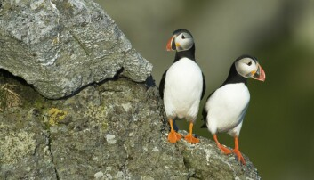 Sjøfuglene rammes av matmangel
