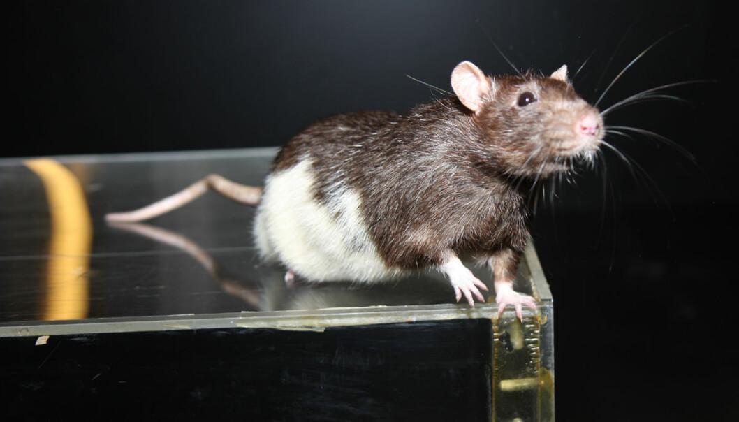 Når rotter løper fortere på et spor, fyrer en bestemt type nerveceller raskere. Disse cellene gir fartsinformasjon som hjelper rottene til å oppdatere sitt mentale kart over omgivelsene, viser forsøk gjort av Moser-forskerne. Her er en rotte på et spor lignende det som ble brukt i forsøkene. (Foto: Raymond Skjerpeng, NTNU)