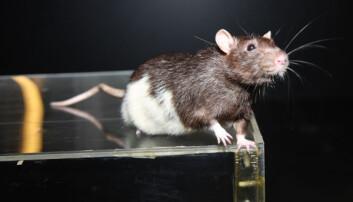 Moser-forskerne har funnet fartsceller i rottehjernen