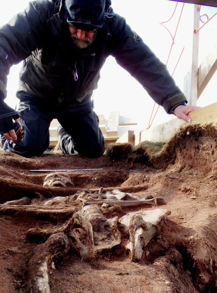 Forevigelsen av et møte mellom Dag og vår benløse fangstmann. Man kommer nesten uhyggelig tett på forhistorien når man som arkeolog er så heldig å få grave i kontekster hvor beinmateriale er godt bevart. På bildet er det nesten vanskelig å si hvem som beskuer hvem.  (Foto: Arild S. Vivås/ Sysselmannen på Svalbard)