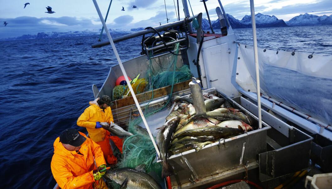 Både skånsom behandling av torsken, hvile og riktig slaktemetode er viktig for å få best mulig smak og kvalitet på fisken.  (Foto: Cornelius Poppe, NTB scanpix)