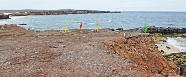 Boplassen og gravplassen Nordhamna ligger på en fremskutt terrasse. De mektige kreftene fra Barentshavet jobber seg inn fra alle kanter og hvert år raser deler av terrassen ut. Den utgravde skjelettgraven er markert med grønn pil, tuftene etter fangststasjonene er markert med gule piler og avfallsområdet vi skal undersøke er markert med rød pil. (Foto: Dag Nævestad/Sysselmannen på Svalbard)