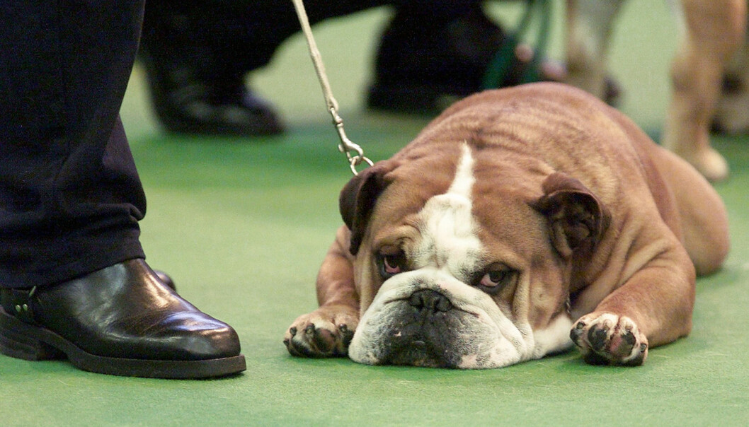 En bulldog tar en pust i bakken mens den venter på dommen under verdens største hundeutstilling, Crufts i England.  (Foto: Reuters)