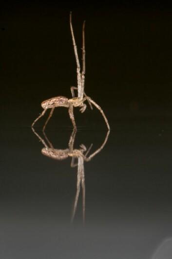B. Tetragnathid benytter noen av de åtte beina for å fange vinden.  (Foto: Alex Hyde)
