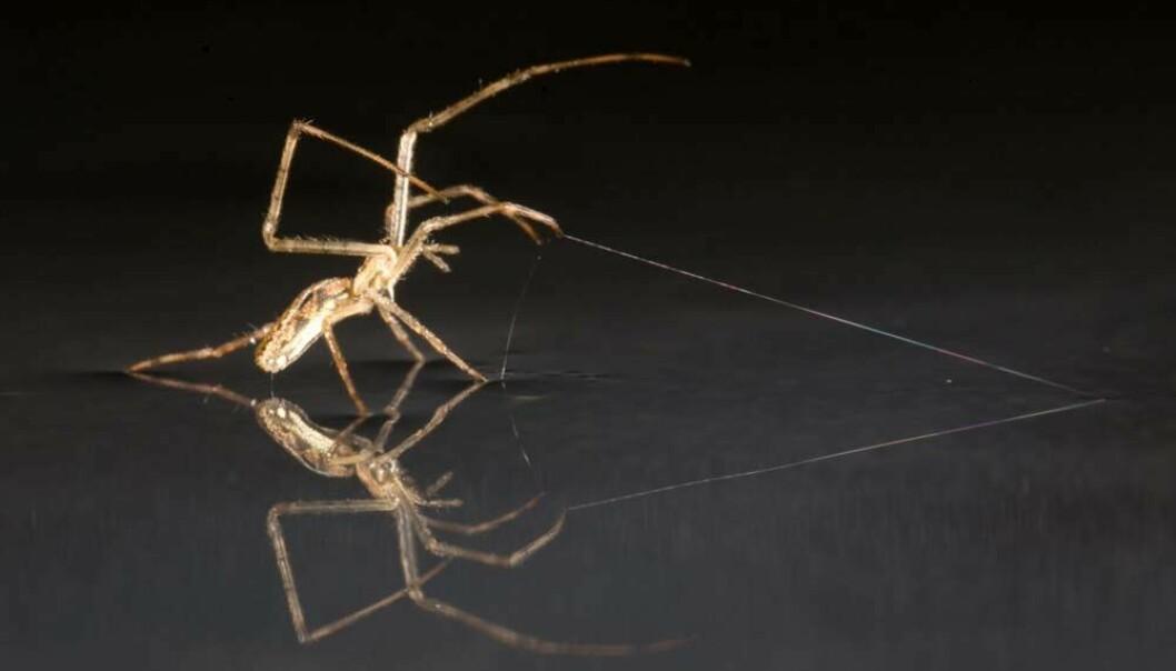 En edderkopp av arten F. Tetragnathid bruker en silketråd som anker.  (Foto:  Alex Hyde)
