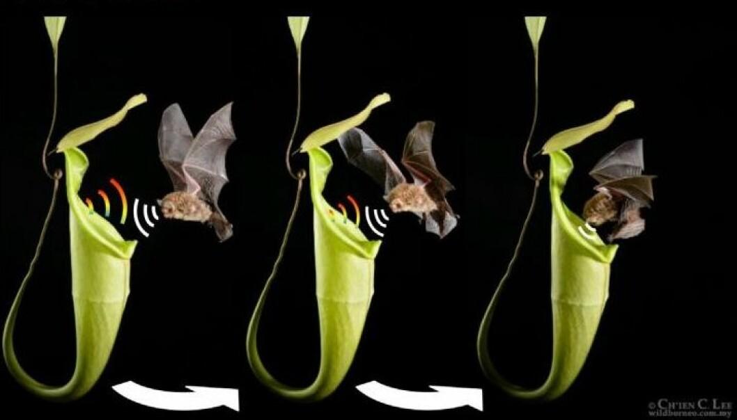Flaggermusen og den kjøttetende planten har dannet et helt spesielt bånd. (Illustrasjonsfoto:  C.C. Lee og M.D. Tuttle)