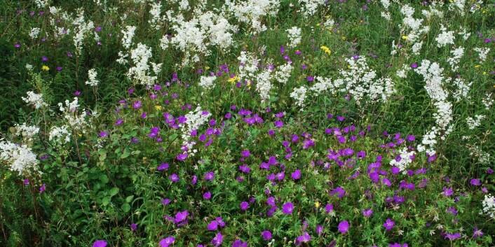 Knollmjødurt (NT) og blodstorkenebb er karakteristiske arter på åpen grunnlendt kalkamark.  (Foto: Harald Bratli)