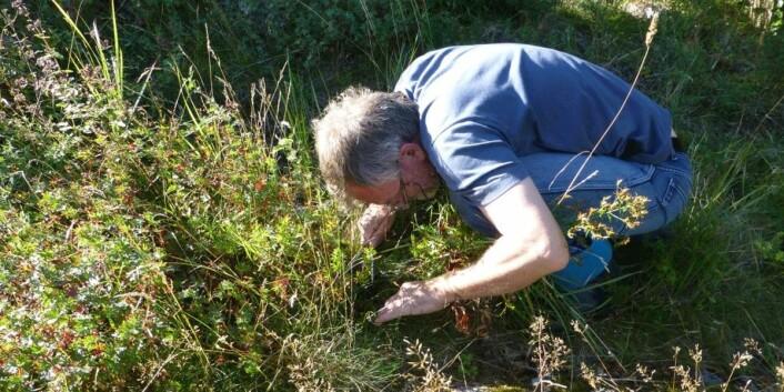 Å lete etter sopp er et møysommelig arbeid.  (Foto: Anne Molia.)