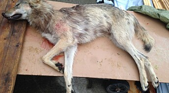 Ulver kommer fra Sverige og blir skutt i Norge