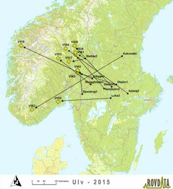 Kartet gir en oversikt over de 11 ulvene som er registrert døde i Norge siden 1. juli i fjor. Sorte prikker viser føderevir mens de gule korsene angir hvor ulven er registrert død. Pilene går i luftlinje mellom punktene, men ulvene kan ha beveget seg mye rundt omkring mellom disse punktene.  (Foto: (Kart: Rovdata))