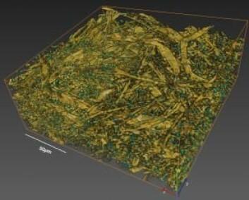 3D-visualisering av soppinfeksjonen. De grønne partiklene er soppsporer på overflaten av papiret.  (Foto: (Illustrasjon: Diwaker Jha) )