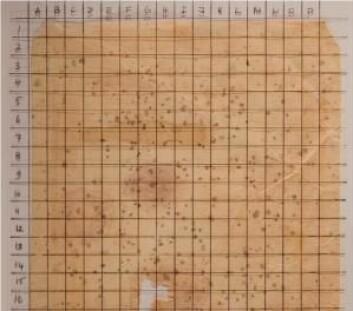 Dokumentet fra 1600-tallet er infisert av sopper av typen Dematiaceous, som har gitt papiret mørke flekker.  (Foto: (Foto lånt av ut Hanna M. Szczepanowska))