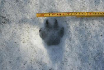 Ulv i Norge blir overvåket blant annet ved å spore individer på snø og ved å analysere DNA fra hår og ekskrementer. (Foto: Mogens Totsås/Statens naturoppsyn)