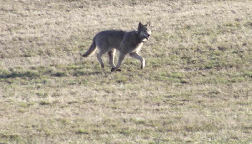 En radiomerket ulv er observert midt i boliområdet på Nesodden i 2012. Ulven i Norge i dag er på mange måter lik den som levde på 1800‐tallet. Men den er også på mange måter temmelig ulik, i og med at den holdes innenfor et relativt lite geografisk avgrenset området, og at bestanden holdes helt på grensen til det som er betraktet som en levedyktig populasjon.  (Foto: NTB Scanpix)