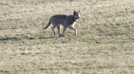 Hvor vill er egentlig ulven i Norge?