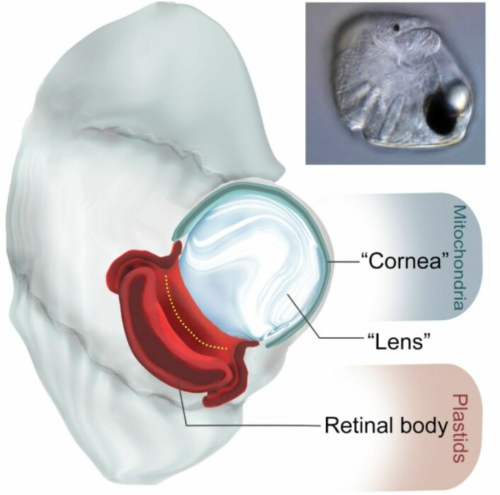 """Tegning av øyet, med ulike bestanddeler og hva de er lagd av. """"Cornea"""" betyr hornhinne, mens """"retina"""" er netthinne.  (Foto: Greg Gavelis)"""