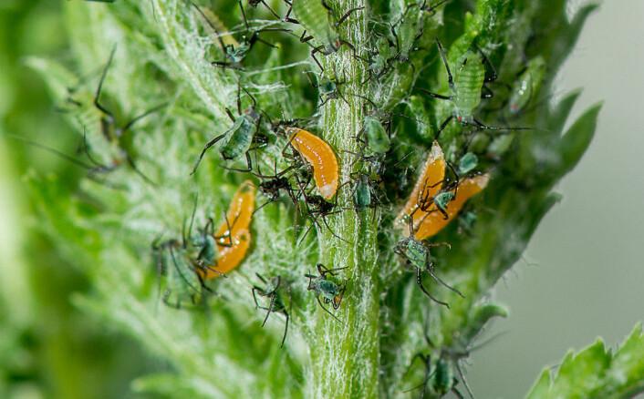I hagen til insektforsker Nina Svae Johansen ved NIBIO, får nyttedyrene lov til å kose seg med bladlusene i fred og ro. Her er det gallmygglarver som spiser bladlus. (Foto: E. Fløistad, NIBIO)