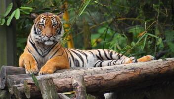 I 2004 utnevnte en internasjonal forskergruppe den malaysiske tigeren til å være en separat underart. Nå foreslår en forskergruppe at den skal lsås sammen med fem andre typer. Her en malaysisk tiger i National Zoo Malaysia.  (Foto: Wikimedia Commons)