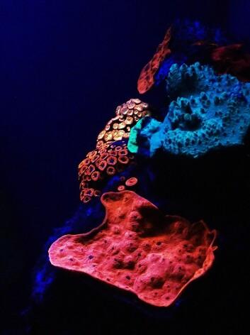 Korallene på dypet av Rødehavet lyser i mange farger.  (FOTO: JÖRG WIEDENMANN)