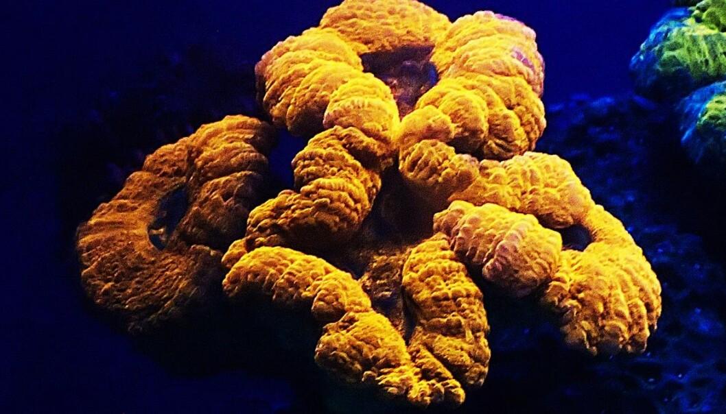 Lyset fra denne korallen, Lobophyllia, kan skifte farge når den eksponeres for fiolett lys. (FOTO: JÖRG WIEDENMANN)