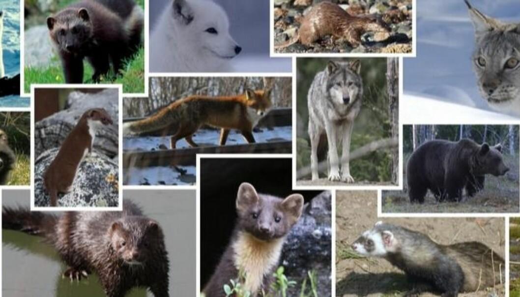 De 15 landlevende rovpattedyrene er arter som lever tett på mennesket, både fysisk ute i naturen, og i folkeeventyr, myter og overtro. Åtte av dem er vurdert til å være truete arter i Norge (ulv, fjellrev, jerv, oter, ilder, brunbjørn, isbjørn og gaupe). Det finnes også fremmede arter blant disse artene, både mårhund og mink er innført av mennesket og hører ikke naturlig til i Norge. (Foto: Artsdatabanken)