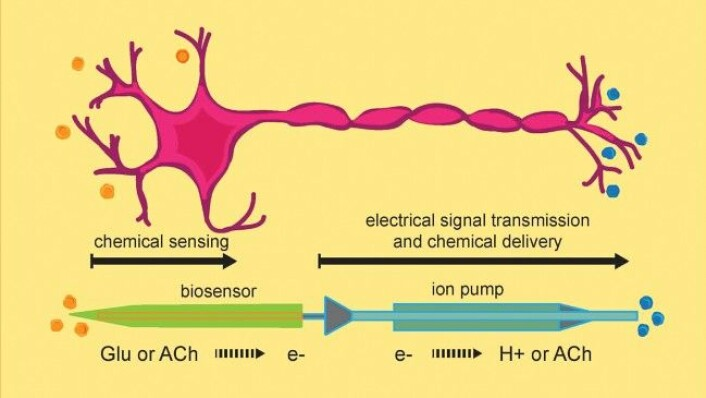 Den rosa figuren viser en ekte nervecelle. Under er en figur av den kunstige cella. Forbindelsen mellom den grønne biosensoren og den blå leveransedelen, som er illustrert med en pillignende trekant, håper forskerne å gjøre trådløs.  (FOTO: KAROLINSKA INSTITUTET)