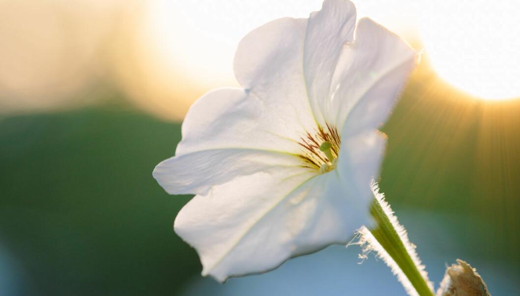 Petuniablomsten sparer mesteparten av godlukten til nattetid. Da svermer insektene den vil lokke til seg for å bli bestøvet og befruktet. Amerikanske forskere har nå funnet genet som styrer luktslippet ved hjelp av døgnrytmen til planten. I framtida kan nyttevekster få hjelp til å slippe lukten på det beste tidspunktet for insektsverming, tror forskerne. (Foto: Kiley Riffell.)