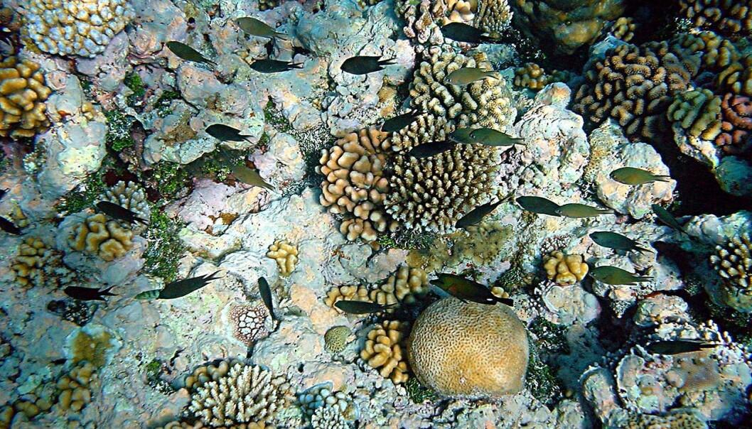 Livet ved et korallrev i Papua New Guinea. De danske forskerne mener at modellen som brukes til å beregne hvilke arter som vil overleve når havtemperaturen øker, ikke stemmer for artene de selv har testet den på. (Foto: Brocken Inaglory, Wikimedia Commons)