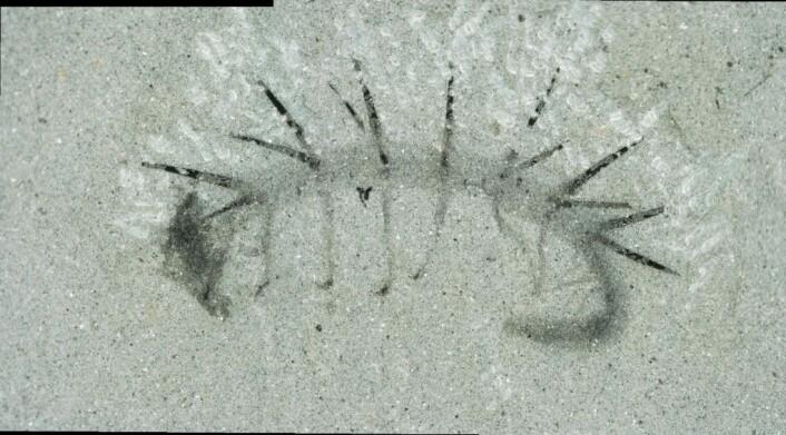 Et fossil av Hallucigenia sparsa. Legg merke til at det ser ut som om det har et hode i den ene enden og en hale i den andre. Det viste seg at halen til høyre mest sannsynligvis er hodet. (Foto: Martin R. Smith)