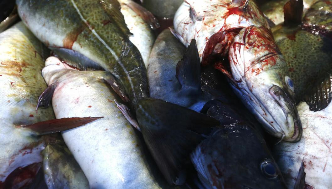Torsk er for et rovdyr å regne i marien økosystemer. Overfiske og kollaps av torsk har resultert i at mangfoldet av fiskearter i havet har økt utenfor Canada.   (Foto: Cornelius Poppe, NTB scanpix)