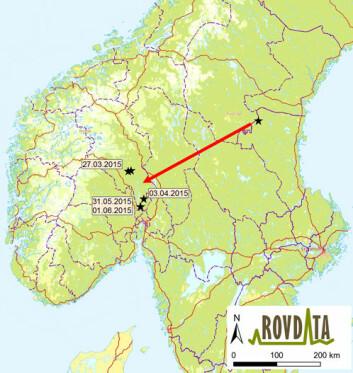 Hannulven tilbakela cirka 300 kilometer i luftlinje fra Prästskogen-reviret i Sverige før den ble påvist i Nordre Land kommune i Oppland 27. mars i år.  (Foto: (Kart: Rovdata))
