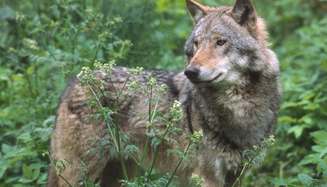 Ulven som har vandret i Nordmarka bærer på verdifulle gener som kan motvirke innavl, ifølge forskerne.  (Illustrasjonsfoto: © John Linnell/Rovdata)