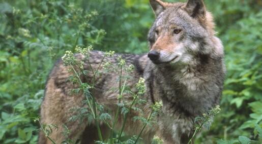Har påvist genetisk viktig ulv i Nordmarka