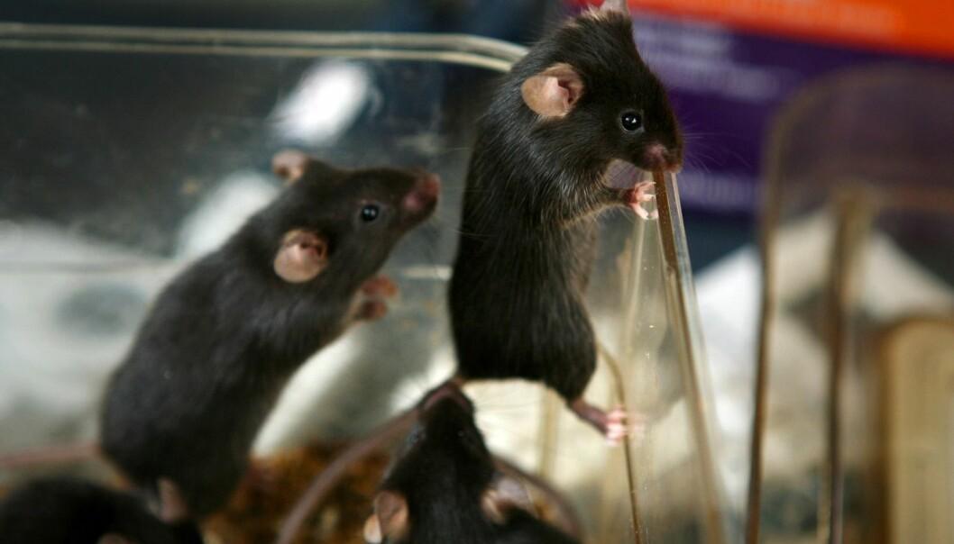 Det finnes ikke tall for hvor hva slags kjønn det er på musene norske forskere bruker i sine dyreforsøk. Forskerne Kilden har snakket med har inntrykk av at mange bruker både hunkjønn og hankjønn.  (Foto: Science Photo Library/NTB scanpix)