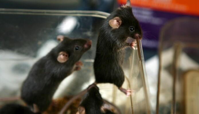 Norske forskere: - Vi bruker mus av begge kjønn
