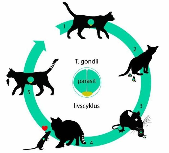 Livssyklusen til parasitten T. gondii er basert på smitte mellom forskjellige dyr. Parasitten har en del av livssyklusen sin i tarmene på katter (1). Ofte etterlater katter avføring et sted hvor mus spiser. Dermed kommer parasitten inn i mus, hvor den arbeider seg frem til musens hjerne (2) (3). I hjernen endrer parasitten på musens atferd, slik at den blir tiltrukket av lukten av katter (4). Da er sjansen stor for at den blir spist. Dermed kommer parasitten tilbake i en kattetarm og kan starte livssyklusen sin forfra (5). (Foto: (Illustrasjon: Mette Friis-Mikkelsen))