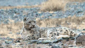 En pust i bakken for snøleoparden, som i de mongolske fjellene dreper et bytte hver åttende dag. Det sjeldne kattedyret er godt kamuflert i terrenget. (Foto: Lkhagvasumberel Tumursukh)
