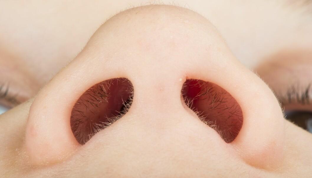 Opp mot 50 prosent av befolkningen har stafylokokker i nesen. Bakterien kan gi alvorlige infeksjoner og blodforgiftning.  (Foto: Colourbox)