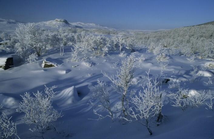 Fjellbjørkeskog i Sør-Trøndelag. Her liker rypa seg. Foto: Erlend Haarberg/Samfoto)