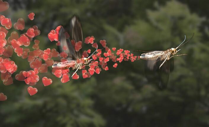 Hannen lokkes mot hunnen med feromoner, men hva skjer når epledyrkeren teppebomber eplehagen med disse liflige luktstoffene? Se videoen Det store insektlureriet! (Foto: (Illustrasjon: Fra video av Arnfinn Christensen, forskning.no))