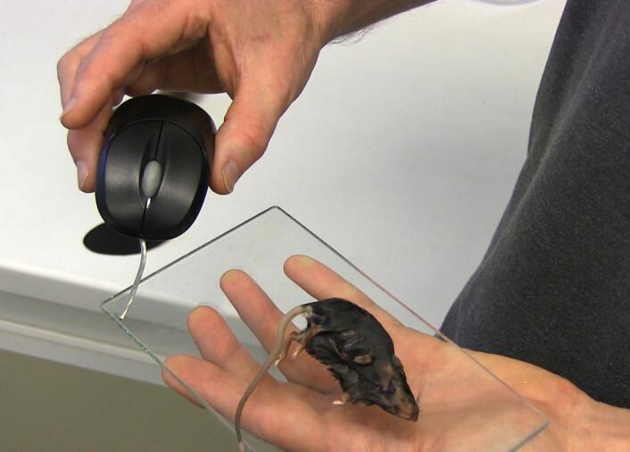 Flua flyr gjerne mot en datamus, så lenge den lukter like liflig som en ekte død mus. Lukt trumfer syn, viser forskning gjort i vindtunnelen til NIBIO på Ås. (Foto: Fra video av Arnfinn Christensen)