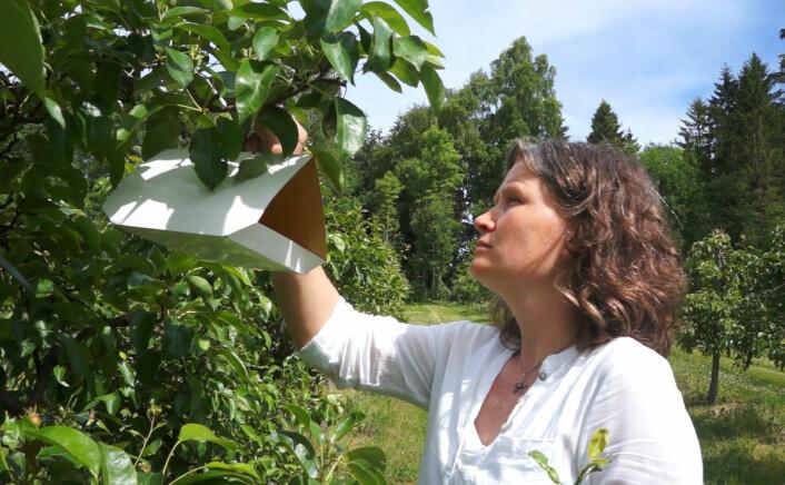 Gunda Thöming fra NIBIO setter opp en luktfelle i eplehagen på Ås. Målet er å erstatte sprøyting av epletrærne helt eller delvis med slike luktfeller mot rognebærmøllen. (Foto: Fra video av Arnfinn Christensen)