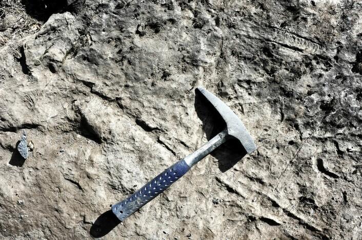 Ser du fossilene? Her er tre eksemplarer av Endoceras, foreviget i berget på Tøyen, midt i Oslo. De færreste av hovedstadens borgere er klar over hvor fossilrik berggrunnen under byen er. Funnstedet skal etter hvert gjøres om til en permanent geolokalitet til bruk i museets formidling og undervisning. (Foto: Ram Gupta)