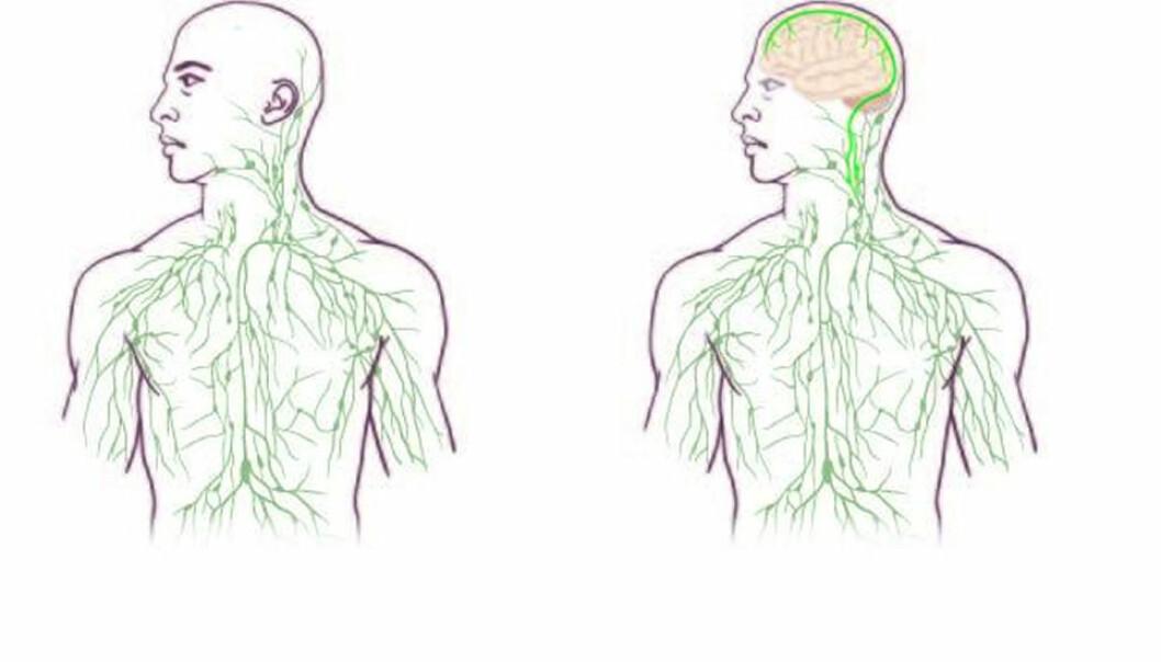 Til venstre det tradisjonelle bildet av lymfesystemet. Til høyre det nye bildet, ifølge amerikanske forskere. De nyoppdagede lymfekarene (markert med lysegrønt) forbinder hjernen med immunsystemet.  (Illustrasjon: University of Virginia Health System)